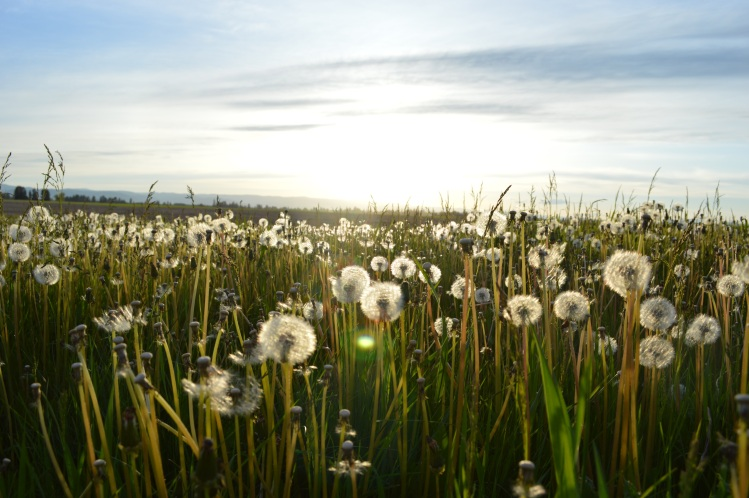 Field of dandelions_Jason Long_Stocksnap