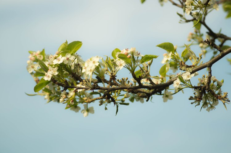 Blossom Branch_Skitter photo_Stocksnap