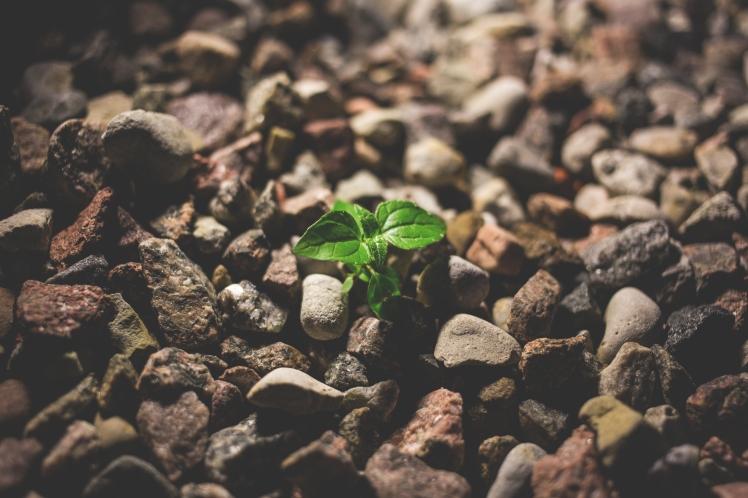Sapling blooms in rocks_Freestocks